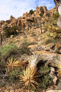 Fallen Joshua Tree n rocks