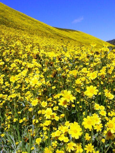 Coreopsis on the hills