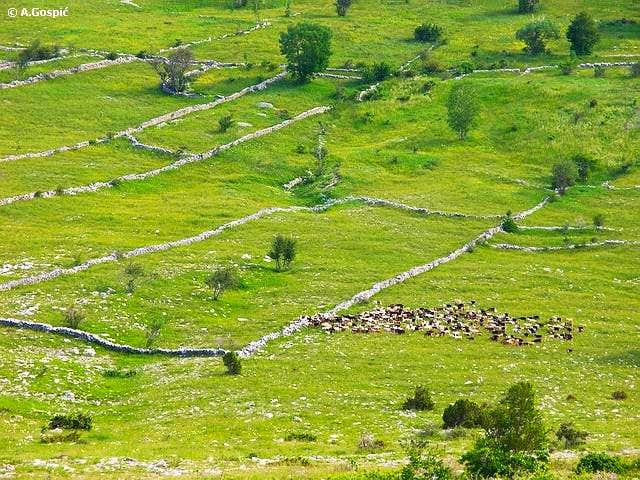 Herd of goats wanders on the...