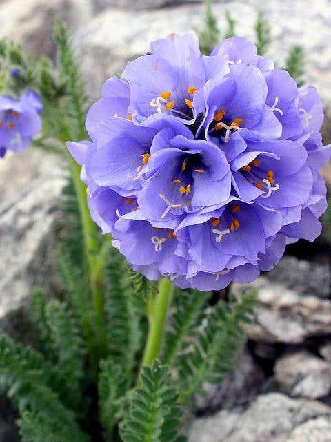 Stupendous alpine wildflower...