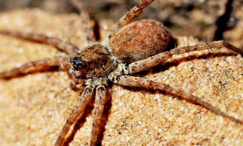 Zion Spider