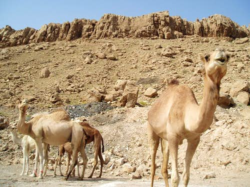 Camels hanging at the crag