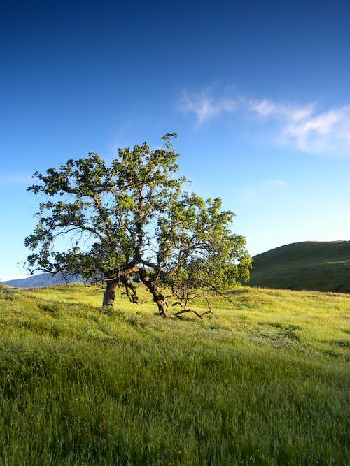 My Oak