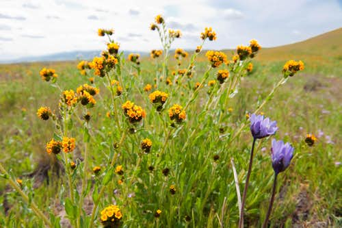 Fiddlenecks and Blue Dicks