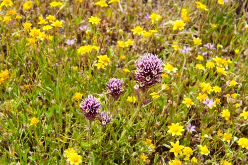 Purple Owl's Clover and Goldfields