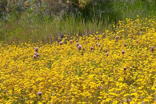 Wildflowers at Carrizo Plain