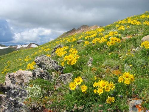 Alpine Sunflowers and Alpine...