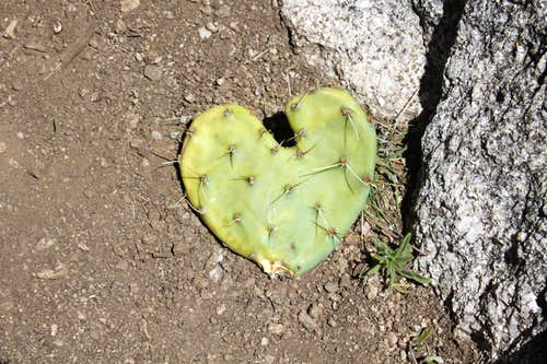 Heart shaped cactus...