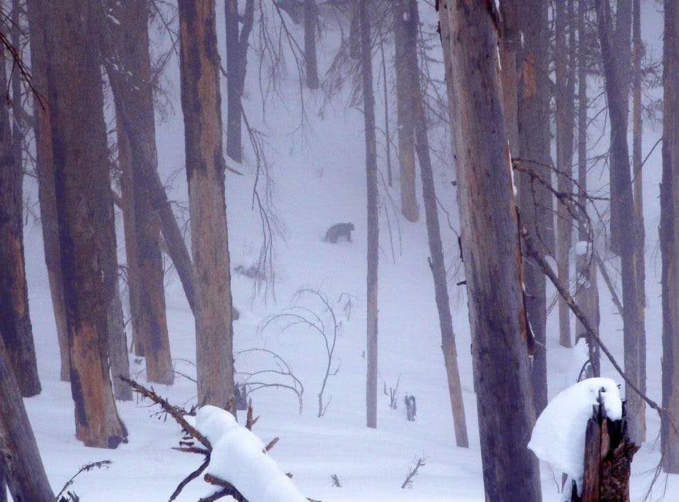 A Bear In Snow