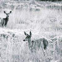 Deer in Oquirrh Mountains