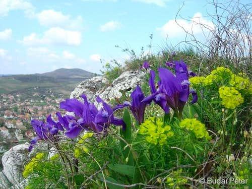 <b>Dwarf Iris</b> - <i>Iris pumila</i>