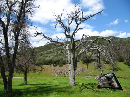 San Antonio Valley Oak Trees en route to Mount Stakes
