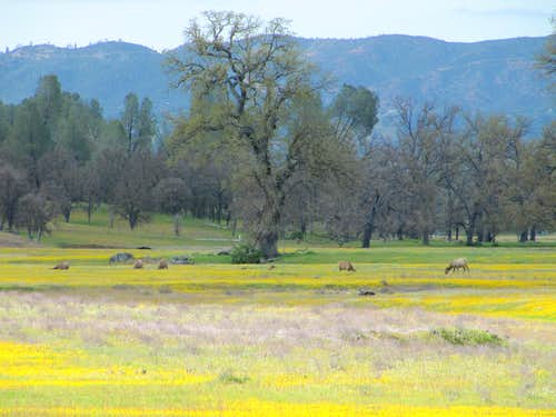 Tule Elk in San Antonio Valley