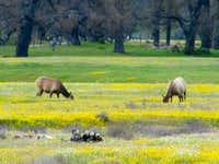 Tule Elk in San Antonio Valley