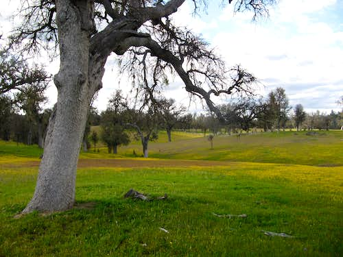 Oaks & Spring Flowers, San Antonio Valley