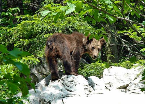 Brown bear/Ursus arctos