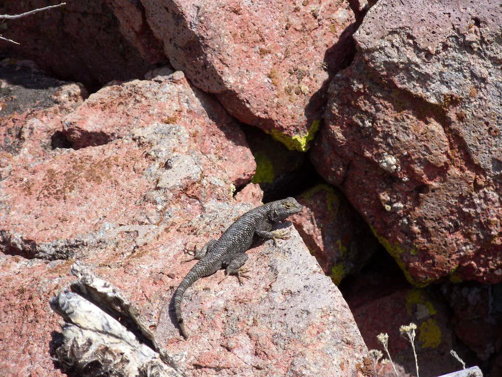 Lizard on the slopes of Flowery Peak