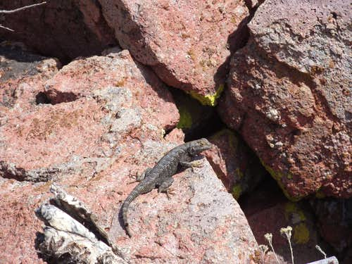 Lizard on the slopes of Flowery Peak