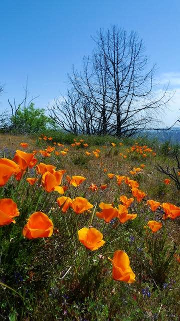 Poppies and burn on the summit of Mt Sizer