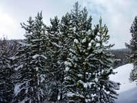 Evergreens in Fresh Snow