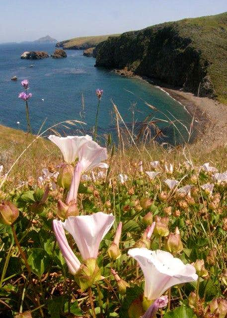 Santa Cruz Island Morning Glory
