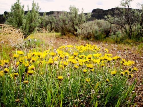 Desert Yellow Daisy