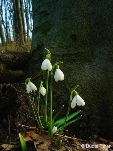 <b>Snowdrops</b> - <i>Galanthus nivalis</i>