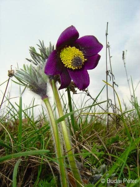 <b>Small Pasque Flower</b> - <i>Pulsatilla pratensis</i>