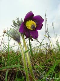<b>Small Pasque Flower</b> - <i>Pulsatilla pratensis</i>