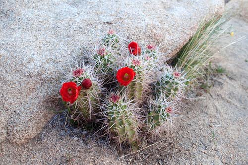 Blooming Claret Cup Cactus