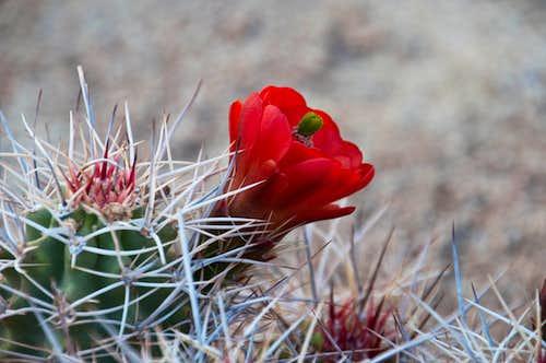 Blooming Claret Cup Cactus - <i>Echinocereus triglochidiatus</i>
