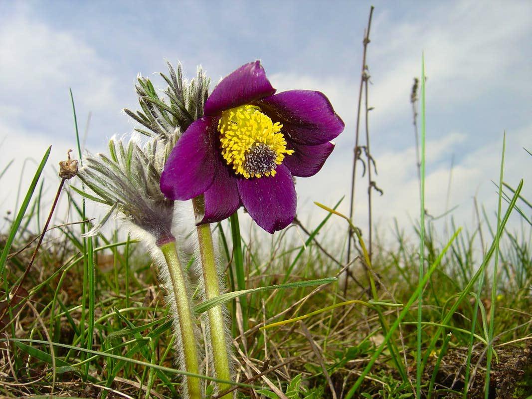 Small Pasque Flower Pulsatilla pratensis s Diagrams & Topos S