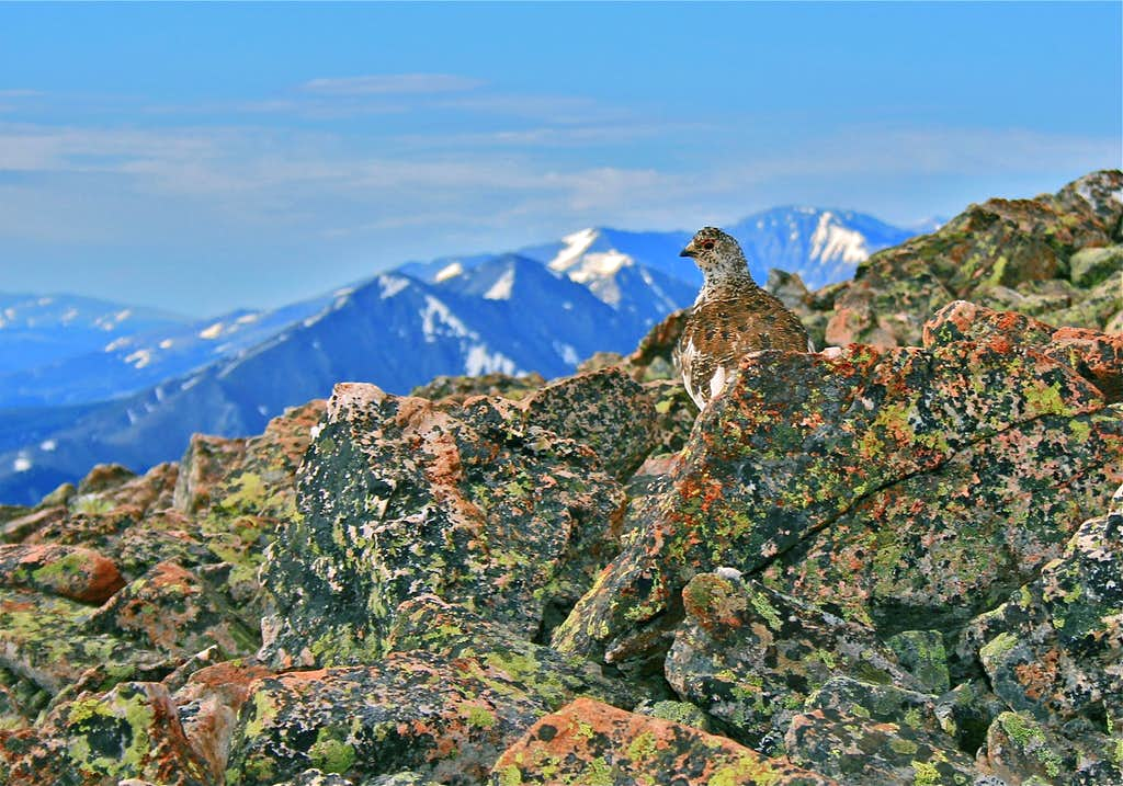 Ptarmigan on Buffalo
