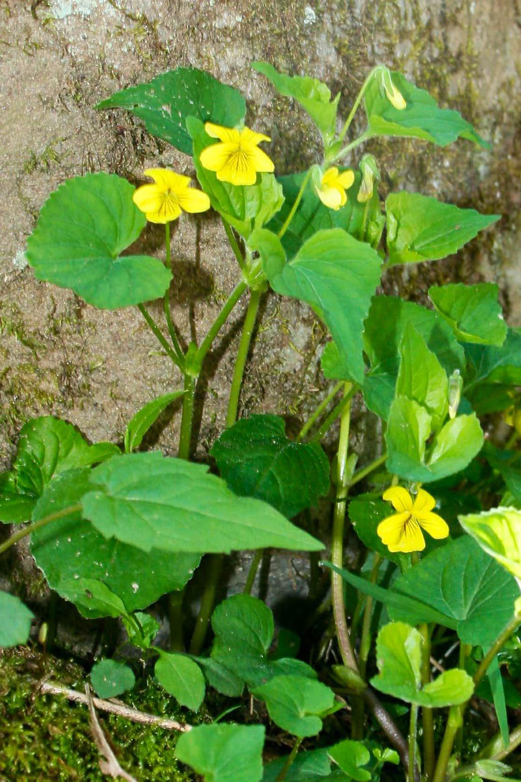 Smokies Wildflowers (Yellow)
