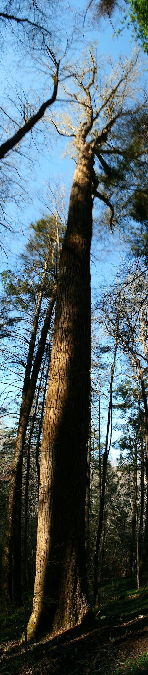 Virgin Forest above Laurel Falls