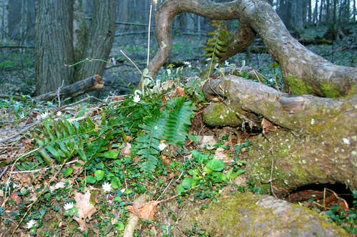 Bloodroot and Fern Fronds in Virgin Forest