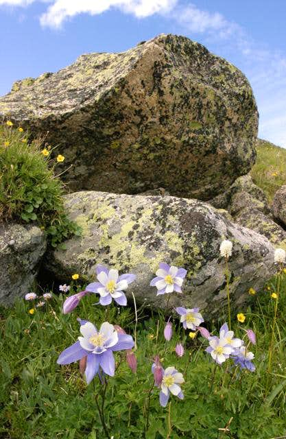 Columbines along the Pawnee...