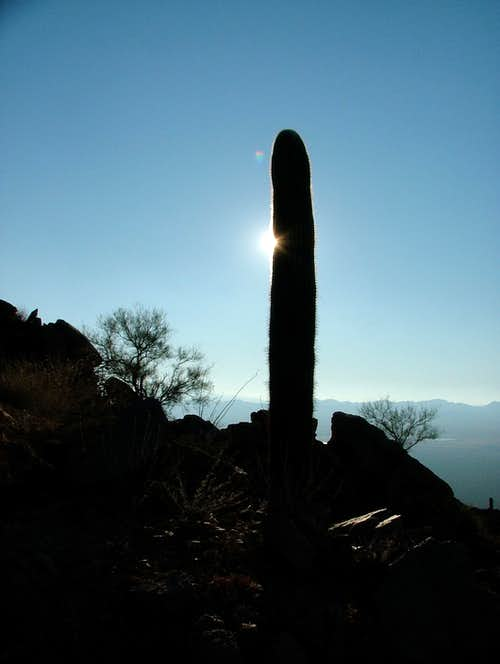 Saguaros at sunset.