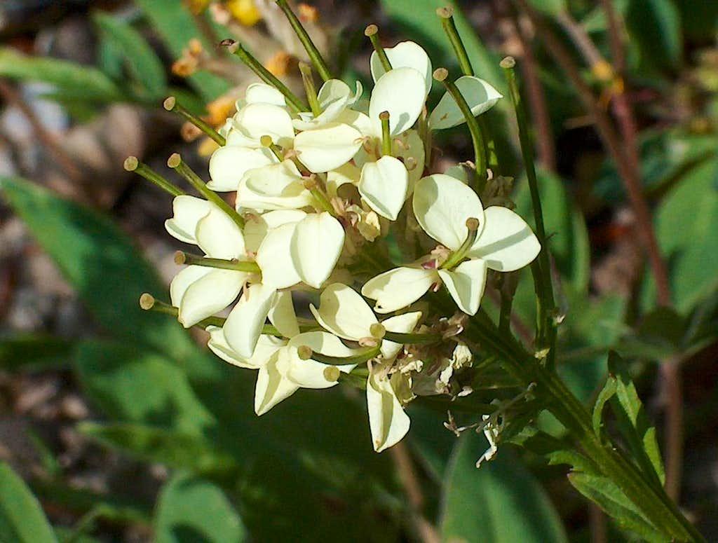 Flower in Malá Fatra (Mustard, family Brassicaceae ?)