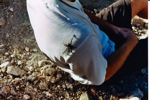 Thimble Tarantula
