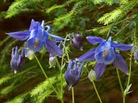 Aquilegia vulgaris (colombine or granny\'s night cap) in Malá Fatra