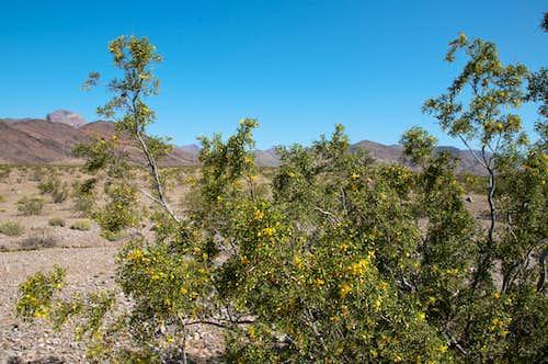 Blooming Creosote Bush