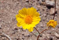 Desert Sunflower (<i>Geraea canescens</i>)