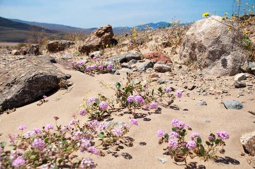 Desert Sand Verbena (<i>Abronia Villosa</i>)