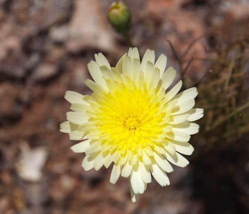 Desert Dandelion (<i>Malocothryx glabrata</i>)