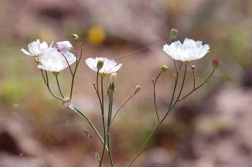 Desert Chicory (<i>Rafinesquia neomexicana</i>)