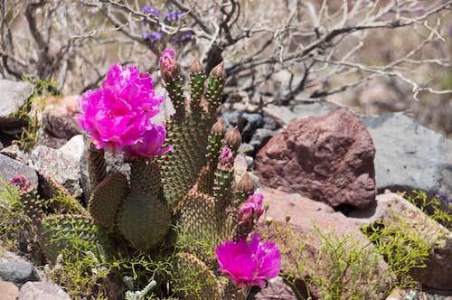 Beavertail Cactus (<i>Opuntia basilaris</i>)