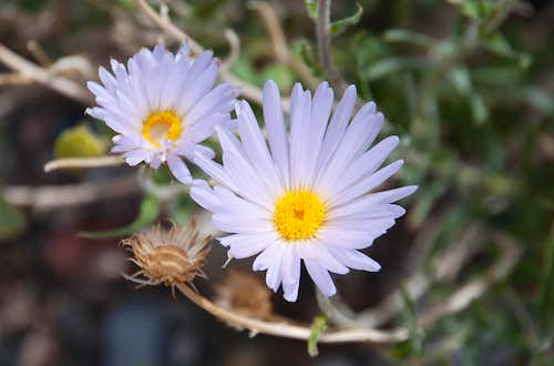 Mojave Aster (<i>Aster mohavensis</i>)