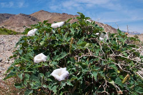 Sacred Datura in Panamint Valley