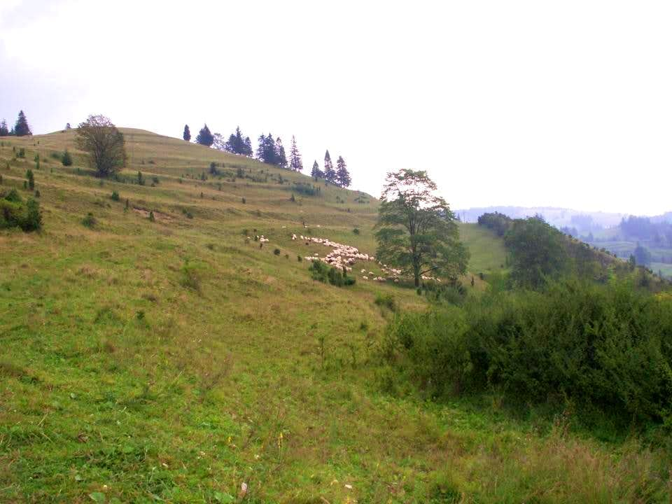 Flock of sheep...